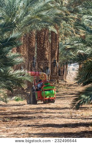 Manual Pollination Of Plantation Of Phoenix Dactylifera, Commonly Known As date or date Palm Trees I