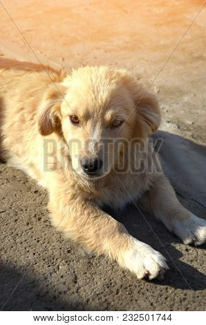 Portrait Of A White Dog Looking At The Camera. Puppy, Pet