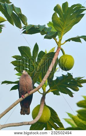 Pacific Imperial Pigeon Sit On A Breadfruit Tree In Rarotonga Cook Islands