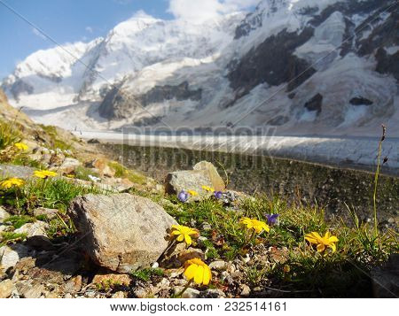 Wild Mountain Landscape. Close-up Of Yellow Flowers Against A Background Of Huge Icy Mountains. Gras