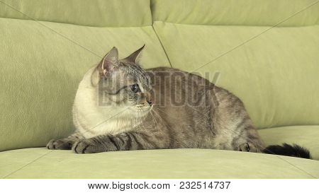 Beautiful Male Thai Cat On The Couch