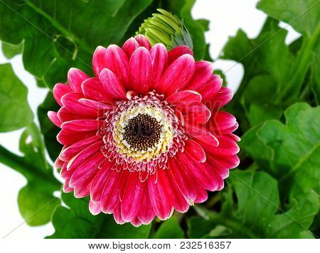 Beautiful Pink Gerbera Daisy Flower Close Up
