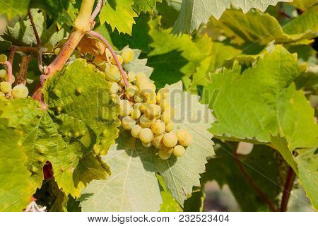 Not Ripe Berry. Bunch Of Unripe Green Grapes. Fresh Green Grapes On The Vine In Sunlight. Not Yet Ri