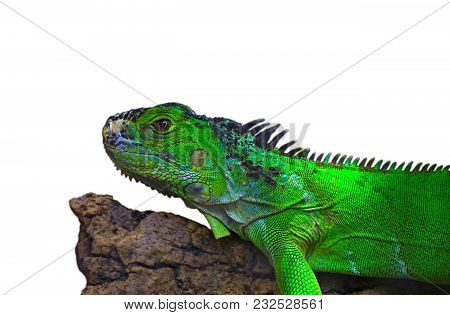 Closeup Portrait Of Green American Common Iguana On A Tree Arboreal Species Of Lizard Reptile Isolat