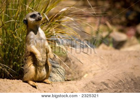 A watchful meerkat stands guard for her family poster