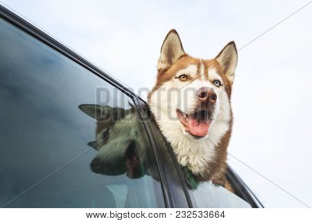 Husky Is Peeking Out Of Car Window