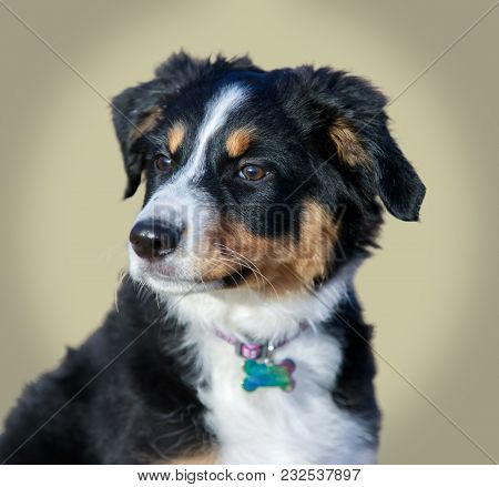 Miniature Australian Shepherd (american Shepherd) Puppy Female Headshot