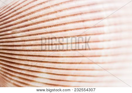 Natural Background. Surface Of Seashell Texture With Relief Strips Close-up.