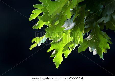Pin Oak tree leaves against black background
