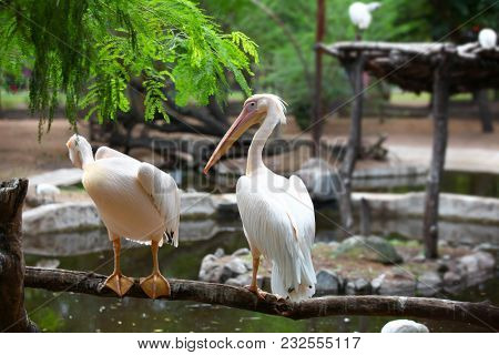 Close up shot of Great white Pelicans
