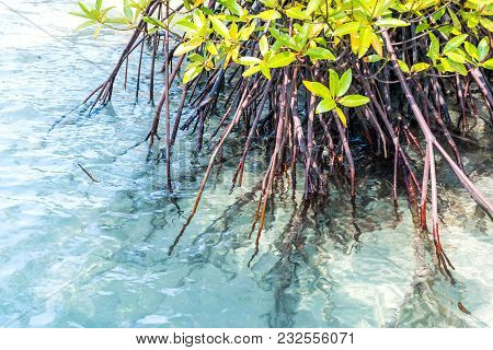 Root Of Mangrove Tree In Blue Water With Sea Wave