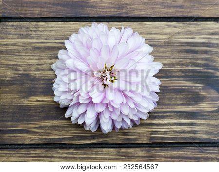 Flower Light Blue Chrysanthemum Close-up On A Wooden Background
