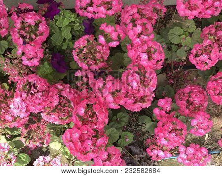 Pinky Flowers ... Spring Time .. Awesome Climate Moderate Climate, Springtime Is Awesome With Rainy