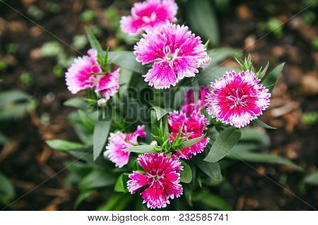 Dianthus Flower Aka Pinks Is Blooming In The Morning