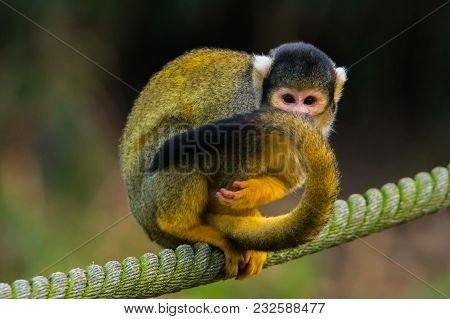 A Squirrel Monkey On A Rope Hiding Behind Its Tail. (saimiri Vanzolinii)