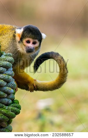 A Squirrel Monkey Sitting On A Pole Holding His Curled Up Tail. (saimiri Vanzolinii)