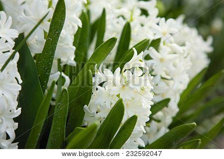 White Hyacinths In The Spring Garden. Macro Focus On Flower