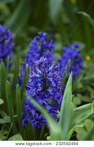 Blue Fresh Hyacinths In The Spring Garden In The Daylight.