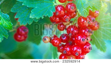 Red Currants In The Sunny Garden. Red Currants On A Branch Close-up.