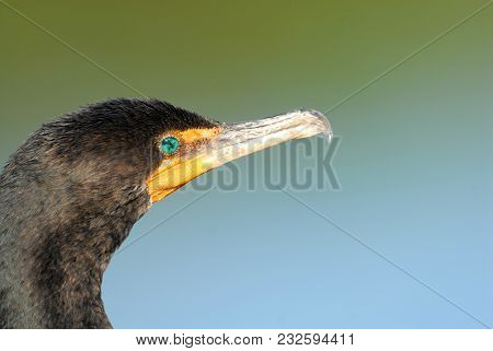 A Headshot Of A Double-crested Cormorant From South Florida, With A Clean Blue And Green Background.