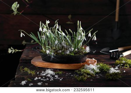 Snowdrops In Cast Iron Bowl With Snow And Moss