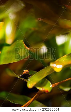 A Mimic Poison Frog Hiding Between The Leaves. (dendrobates Imitator) Also Known As Ranitomeya Imita