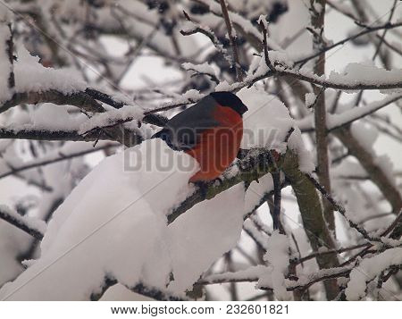 Bullfinch On Snow-covered Mountain Ash.the Most Outstanding Part Of The Bird - The Breast In Females