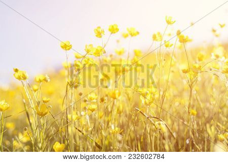 Blooming Yellow Flower In The Field On A Sunny Day In The Summer Time. Beautiful Summer Background,