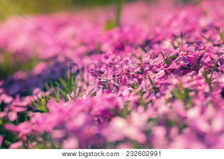 Pink Tender Phlox. Beautiful Summer Background. Shallow Depth Of Field. Toned. Copy Space.