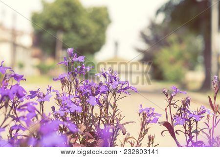 Purple Lilac Flowers At The City Park Alley Background. Beautiful Spring Background, Close Up, Shall
