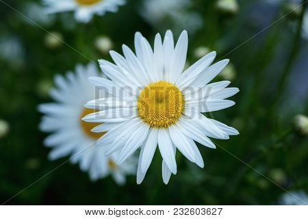 Blooming Tender Daisies With Rain Drops In The Summer Time In A Sunny Weather