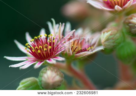 Close Up Of Pink Flowers Of A Blooming Common Houseleek. Succulent. Plant Of The Alps.english Name: