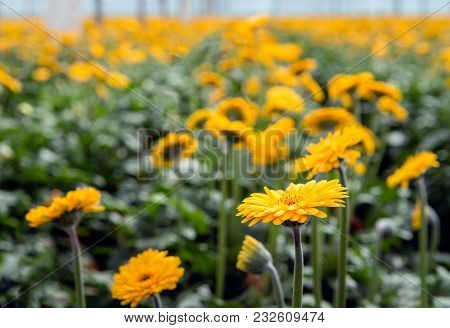 Yellow Blooming Gerbera Plants With Hairy Stems Cultivated In A Specialized Cut Flower Nursery In Th