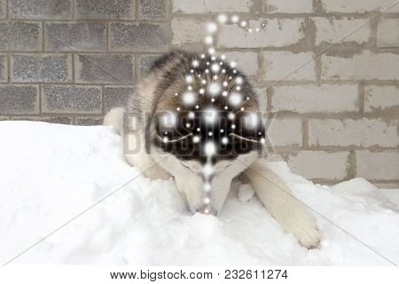 Dog Husky Snow White Patterns Of The Prana Of The Balls Of Light The Symbol Of The Shaman