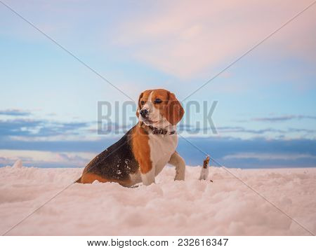Beagle Dog On A Walk In The Background Of A Beautiful Winter Sunset