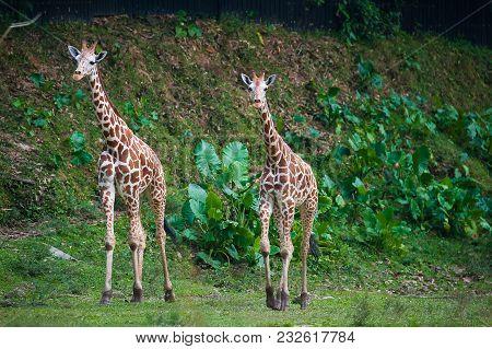 Two Giraffes Take A Slow Walk At The Animal Sanctuary Park