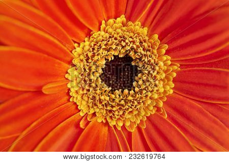 Closeup Of Orange Gerber Daisy In Macro View