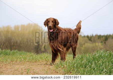 Brown Flat Coated Retriever Is Standing On A Green Field