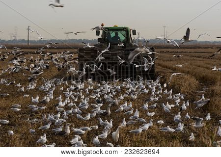 Farm Tractor Ploughing A Field In Winter Surrouned By Feeding Gulls And Storks In Alentejo Portugal