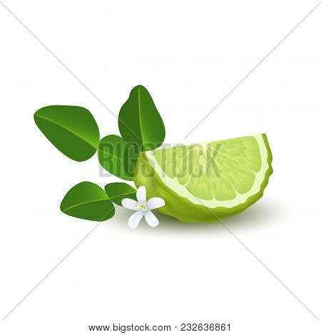 Isolated Colorfull Green Slice Of Juicy Bergamot, Kaffir Lime With Green Leaves, White Flower And Sh