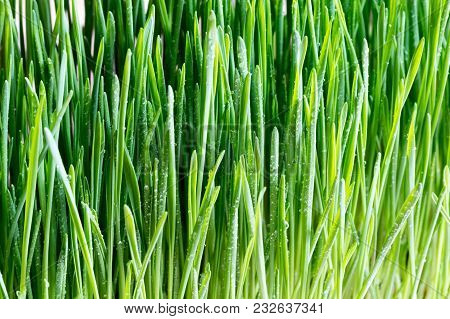Freshly Grown Wheatgrass With Droplets Of Water