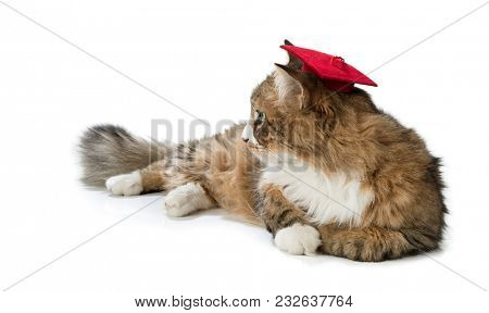 Norwegian forest cat wearing mortar board isolated on white background.
