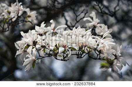 Blossoming Magnolia Flowers