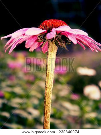 A Pink Daisy Viewed From The Side With Other Flowers In The Background.