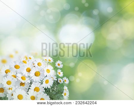 Daisy White Yellow Flowers On The Summer Blurred Garden Background