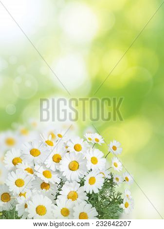 Daisy White Yellow Flowers On The Summer Blurred Garden Vertical Background