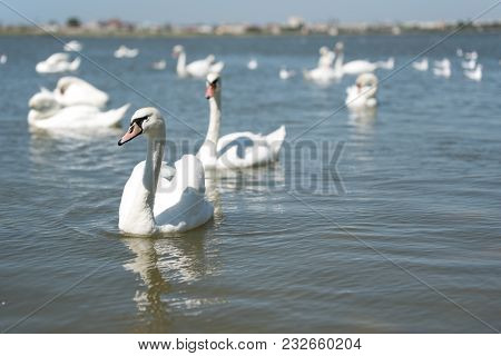 Graceful White Swans Swimming In Blue Water Of Lake Together.