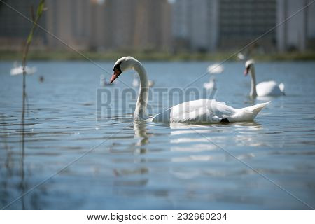 Graceful Beautiful White Swan Swimming With Its Flock In Pond In Sunny Day.