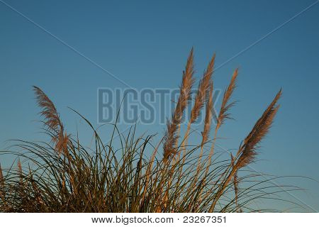 Pampas  or toi-toi grass.