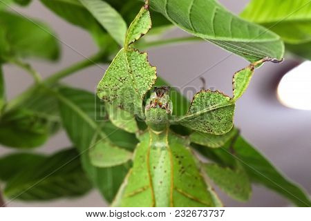 Leaf Insect (or Walking Leaf) The Most Remarkably Camouflaged Leaf Mimics In The Entire Animal Kingd